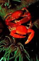 coral crab, Trapezia lutea, Bali Indian Ocean, Indonesia