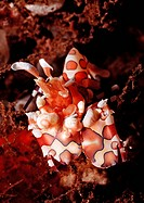 Harlequin shrimp, Hymenoceara elegans, Bali Indian Ocean, Indonesia