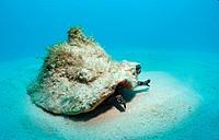Conch shell, Strombus gigas, Atlantic Ocean, Bahamas