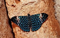 Hamadryas butterfly, Gray Cracker butterfly, Hamadryas februa, Honduras