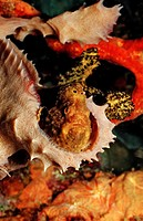 Longlure Frogfish, Antennarius multiocellatus, Caribbean Sea, Martinique, French West Indies