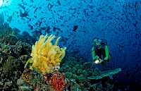 Diver with yellow Crinoid and scholling Redtooth triggerfishes, Odonus niger, Indian Ocean, Meemu Atoll, Maldives