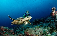 Hawksbill Turtle and Diver, Eretmochelys imbricata, Indian Ocean, Felidu Atoll, Maldives