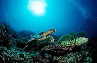 Hawksbill Turtle, Eretmochelys imbricata, Indian Ocean, Meemu Atoll, Maldives