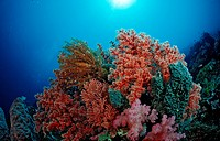 Colored Soft Corals, Wakatobi, Bandasea, Celebes, Indonesia