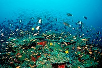 Coral Fishes over Coral Reef, North Ari Atoll, Maldives