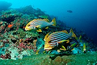 Group of Oriental Sweetlips, Plectorhichus vittatus, Cocoa Corner, South Male Atoll, Maldives