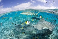 Southern Stingray and Blacktip Reef Shark, Dasyatis americana, Bora Bora, French Polynesia