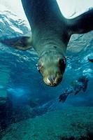 California sea lion, Zalophus californianus, Sea of Cortez, Baja California, Mexico