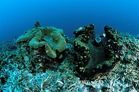 couple of giant clams, tridacna gigas, Micronesia, Pacific, Palau