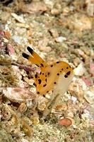 Polyceridae nudibranch, Thecacera spp., Raja Ampat, Irian Jaya, West Papua, Pacific Ocean, Indonesia
