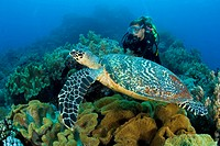 scuba diver and hawksbill turtle, Eretmochelys imbricata, Dumaguete, Apo Island, Negros, Philippines