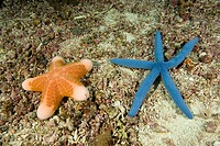 sea stars, Choriaster granulatus, Linckia laevigata, Island Malapascua, Cebu, Philippines