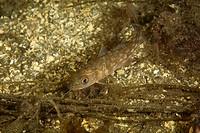 Cod, Gadus morhua, Stromsholmen, Atlantic Ocean, Norway