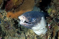 Blacksaddled Snake Eel, Ophichtus cephalozona, Lembeh Strait, Sulawesi, Indonesia