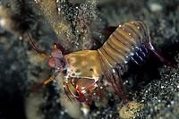 Peacock Mantis Shrimp, Odontodactylus scyllarus, Lembeh Strait, Sulawesi, Indonesia