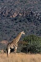 Giraffe, Giraffa camelopardalis, Hluhluwe Umfolozi Park, Kwazulu_Natal, South Africa