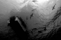 Gray reef sharks, circle under boat, Carcharhinus amblyrhynchos, Truk lagoon, Chuuk, Pacific, Micronesia