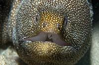 Whitemouth moray, Gymnothorax meleagris, Oahu, Hawaii, USA