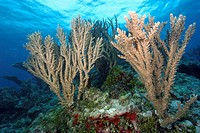 Branching corals, Rongelap, Pacific, Marshall Islands