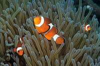Family of False Clown Anemone Fish, Amphiprion ocellaris, Dumaguete, Negros, Visayan Sea, Philippines