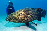 Goliath Grouper and Diver, Epinephelus itajara, Key Largo, Molasses Reef, Florida, USA