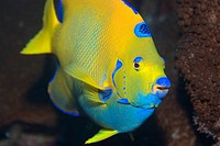 Queen Angelfish, Holacanthus ciliaris, Saint Peter and Paul Rocks, Brazil