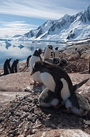 Adelie penguin colony at Pleneau Island Antarctic peninsula