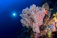 Coral reef and Diver, Lembeh Strait Sulawesi Celebes, Indonesia