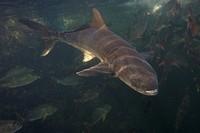 Cobia, Black Kingfish, Rachycentron canadum, Florida, USA
