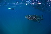 Snorkeling with Whale Shark, Rhincodon typus, South_East Africa, Indian Ocean, Mozambique