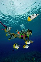 Butterflyfishes and Diver, Chaetodon ulietensis, Pacific Ocean, Rota, Northern Mariana Islands CNMI