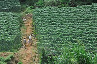 Cameron Highlands (Malaysia): people working in the fields