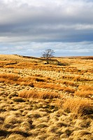 Lone Tree on Haworth Moor West Yorkshire England
