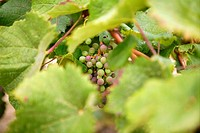 Grape details growing in vineyard field in Spain