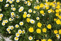 daisy yellow and white flowers in garden pattern background