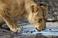 A lioness drinks from a small puddle of water in the Masai Mara