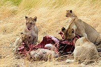 A lion pride eats a wildebeest in the Masai Mara