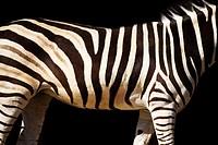Zebra Stripes Taronga Zoo Sydney New South Wales Australia