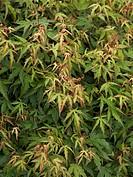 Acer palmatum Diana