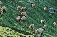 Alpine Ibex Capra ibex herd grazing on wildflower pasture early morning in spring  The long winter in the high mountains etiolated and weakened the an...