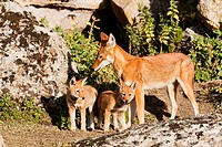 Ethiopian Wolf Canis simensis mother bringing prey, a rodent, to the begging and eating pups, litter, near their den in the Bale Mountains National Pa...