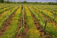 Vineyards in spring near Fronsac in the Fronsadais wine area, Bordeaux wines district, Gironde, Aquitaine, France