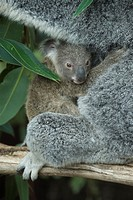 Koala Baer, Phascolarctos cinereus, mother with joey, Queensland, Australia