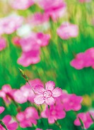 Flower, Sweet William (thumbnail)