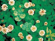 Flower, clover (thumbnail)