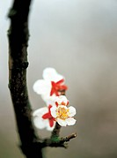 flower, Japanese apricot flower