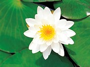 flower, lotus