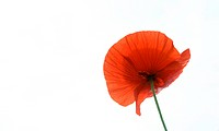 flower, Poppy