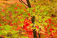 Green maple tree. Aomori Prefecture, Japan